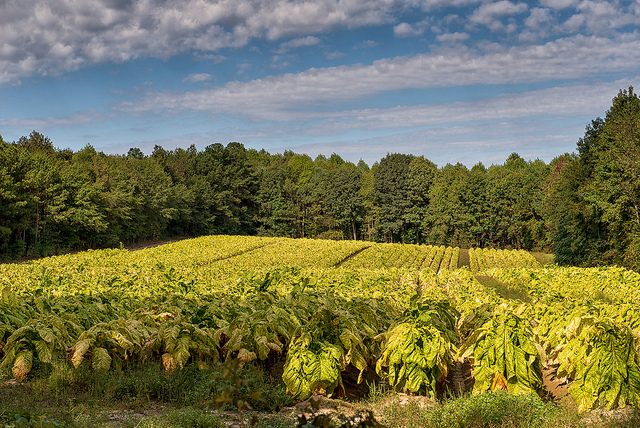 18. Take a country drive and see tobacco fields!