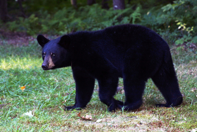 16. Black Bear