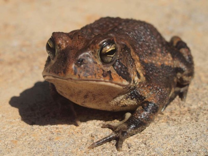 "17. ""American Toad"""