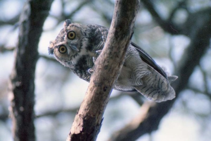 "18. ""Young Horned Owl"""