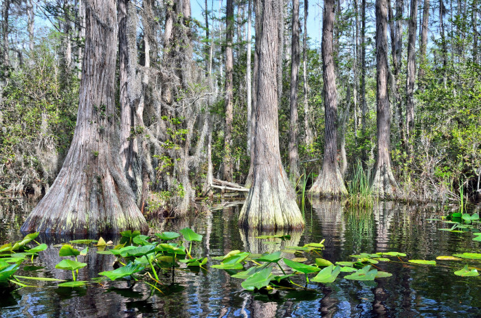 Cypress Trees and Lilypads on Blackwater in the Okeefenokee Swamp