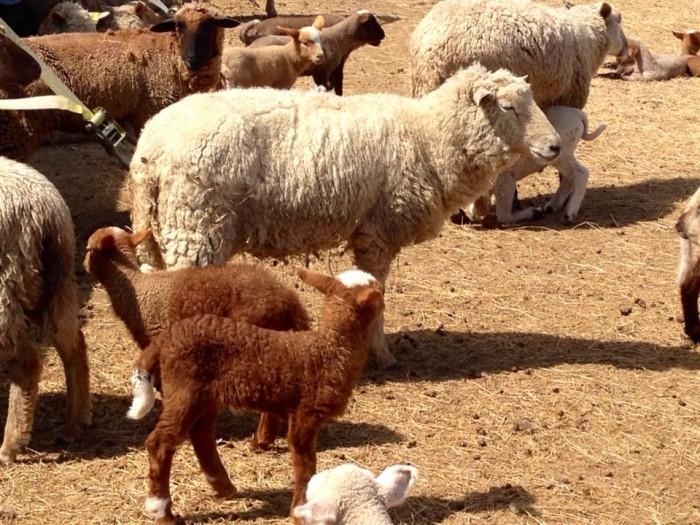 Ovis Hill Farm Sheep and goats
