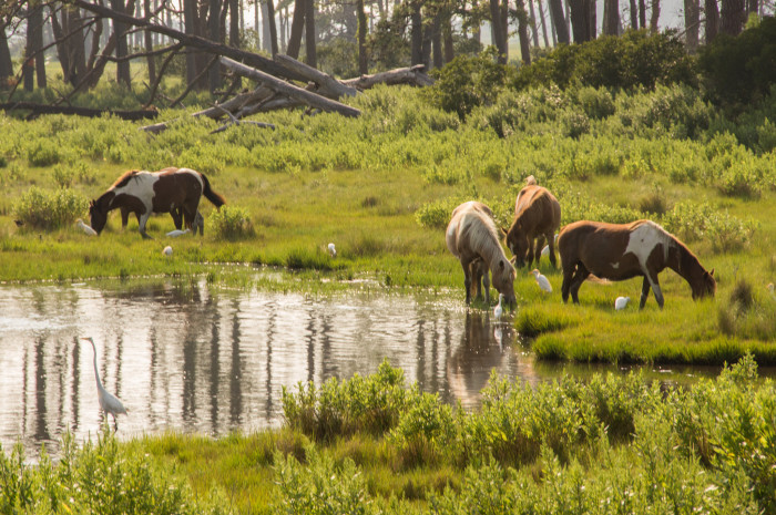 8. Chincoteague Ponies