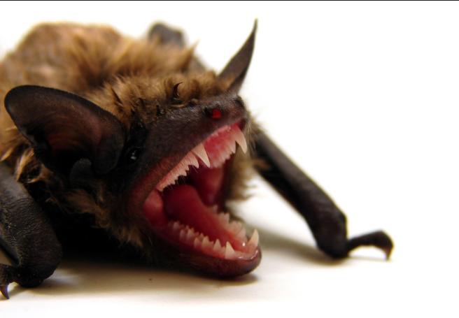 2. Little Brown Bat