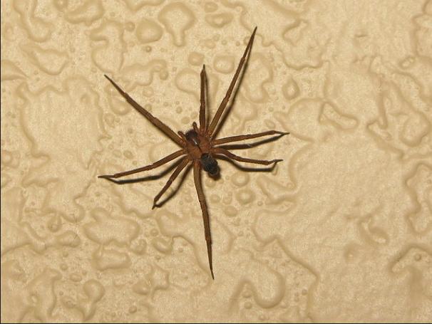 5. Brown Recluse Spider