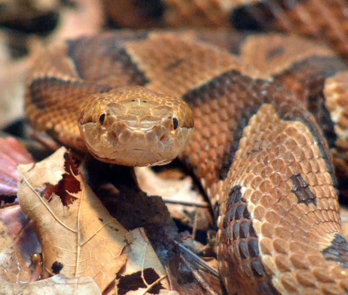 Snake - Copperhead