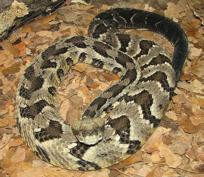 Snake - Timber Rattler