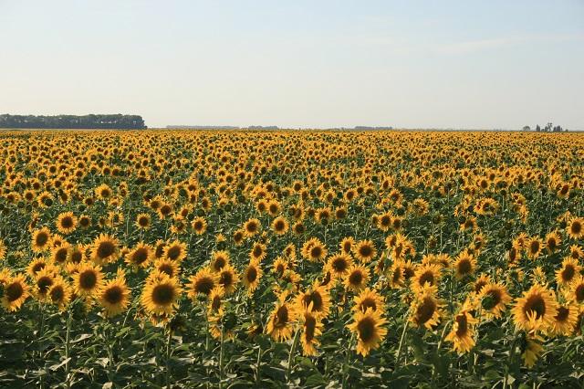 7. A sunflower field near Cavalier, North Dakota