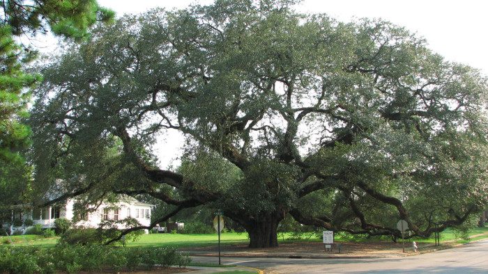 2. The Big Oak in Thomasville, GA