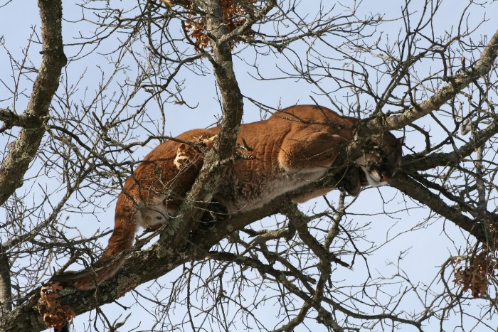 5. New thing to have nightmares about: apparently mountain lions can climb trees! This big cat was looking for his next snack in northwest Wisconsin.