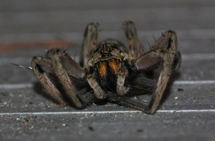 9. Guys this wolf spider is freaking me out!!! Good news: the bite hurts like heck but it won't kill you. Bad news: they swim. I'm staying away from Menomonie just to be sure.