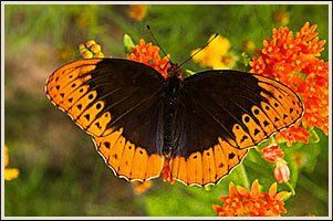 10. Mt. Magazine International Butterfly Festival: This event will be held in Paris, Arkansas on June 26 and June 27 this year at the Logan County Fairgrounds.