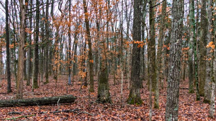 12) Cedars of Lebanon