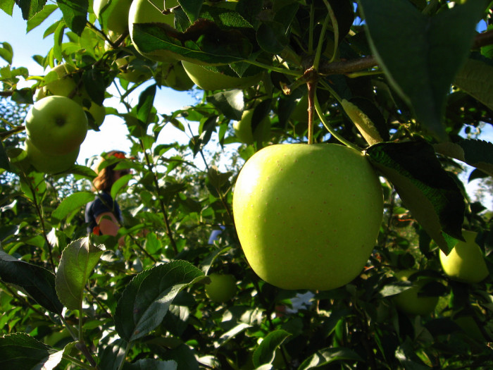 8) Golden Delicious apples were first discovered in West Virginia!