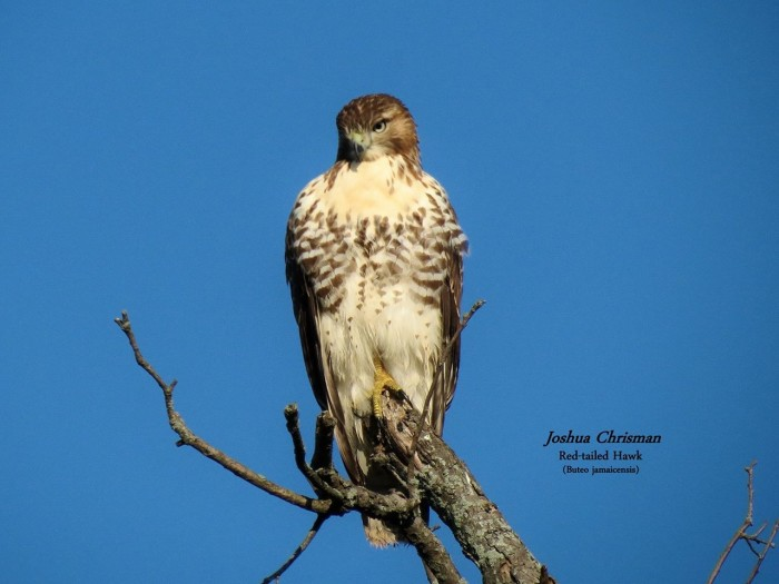 11) Red Tailed Hawk