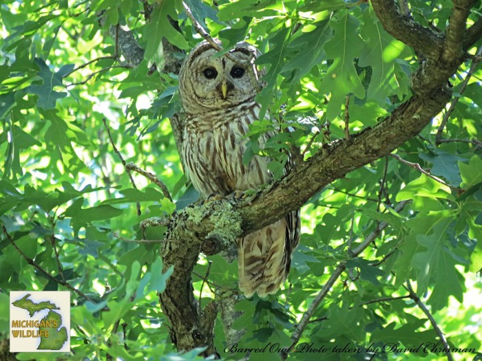 10) Barred Owl