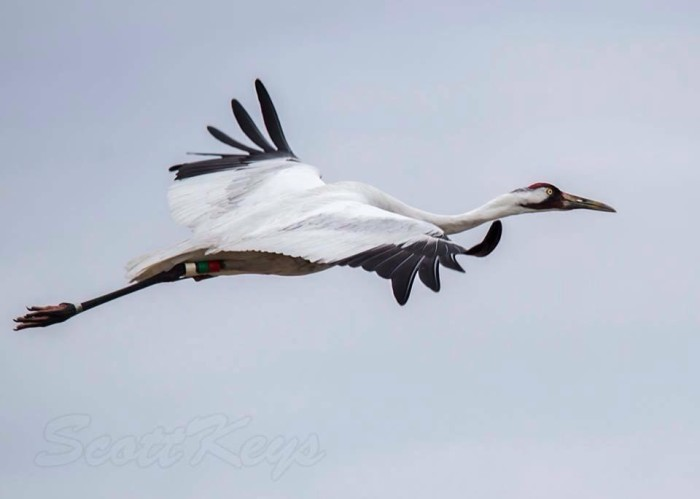 4) Northern Michigan whooping crane