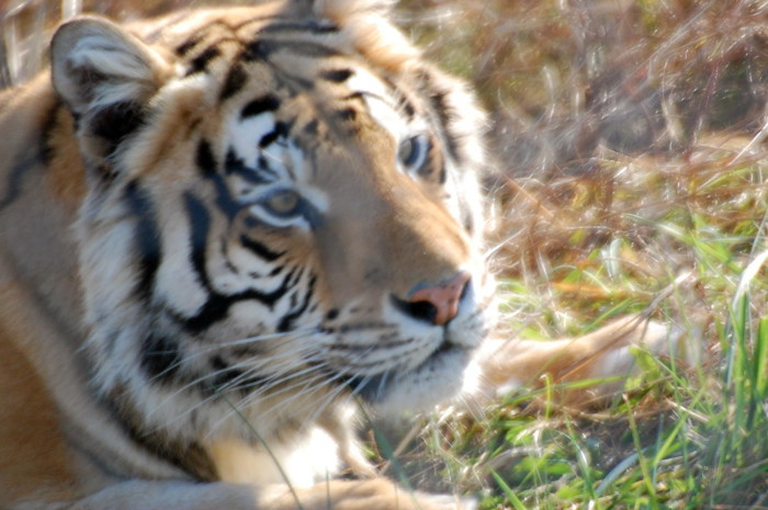7. Turpentine Creek Wildlife Refuge: Turpentine Creek is a big cat sanctuary in Eureka Springs that gives shelter to abandoned or abused big cats and other animals. This location features safari lodges for adults and a treehouse for families.