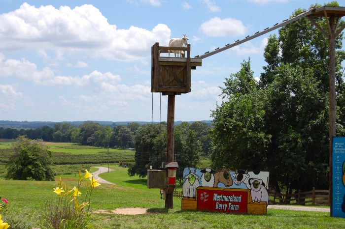 """See the """"sky walking"""" goats at Westmoreland Berry Farm."""