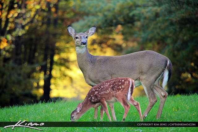 4. 'Mother Dear and Baby Fawn at Blue Ridge Mountain Parkway' by Kim Seng
