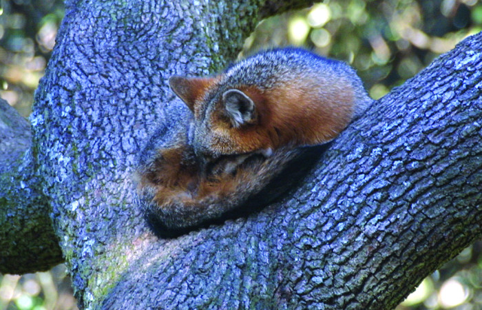 2. Gray Fox Sleeping in a Tree