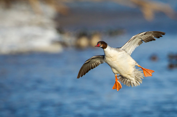 9. This Common Merganser caught mid-flight