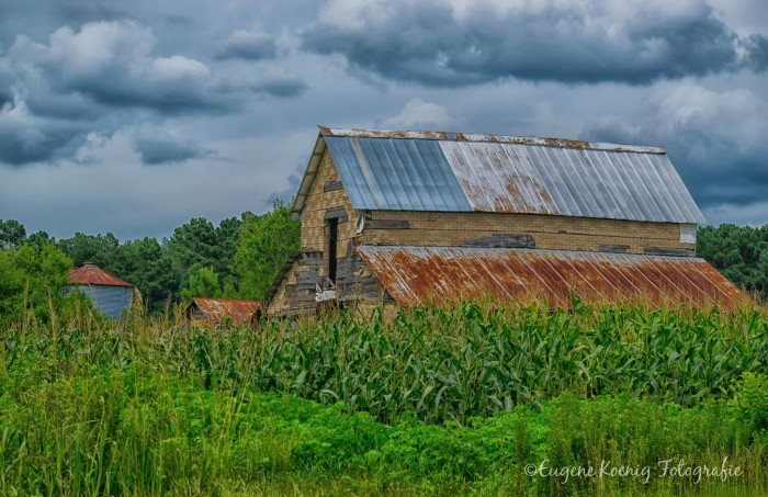 1. A peaceful barn and cornfields in Duplin County