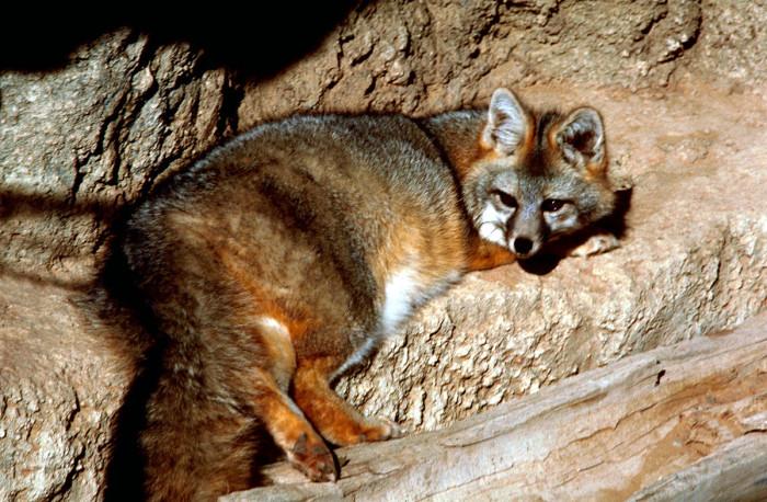 10) Gray Fox