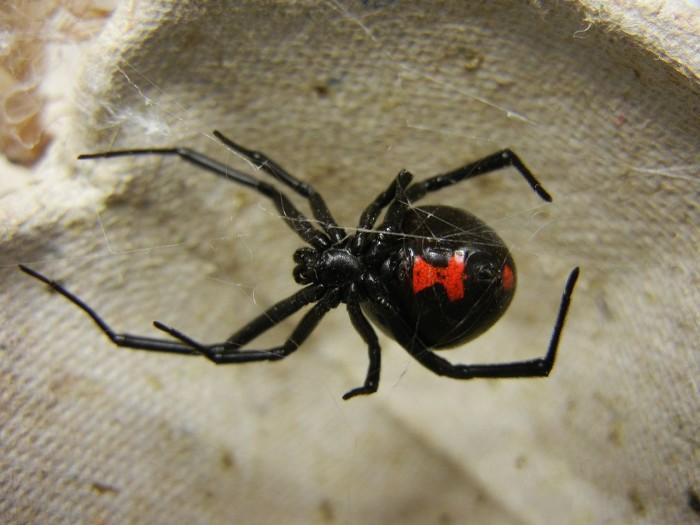 13. Black Widows