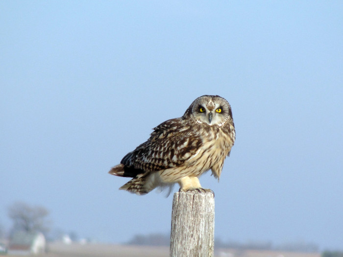 11. This Short-Eared Owl perching on a post
