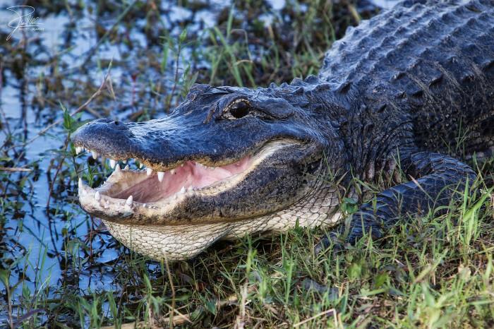 6. Alligators