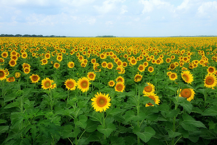 16) This endless field of sunflowers in Avalon is nothing short of spectacular.