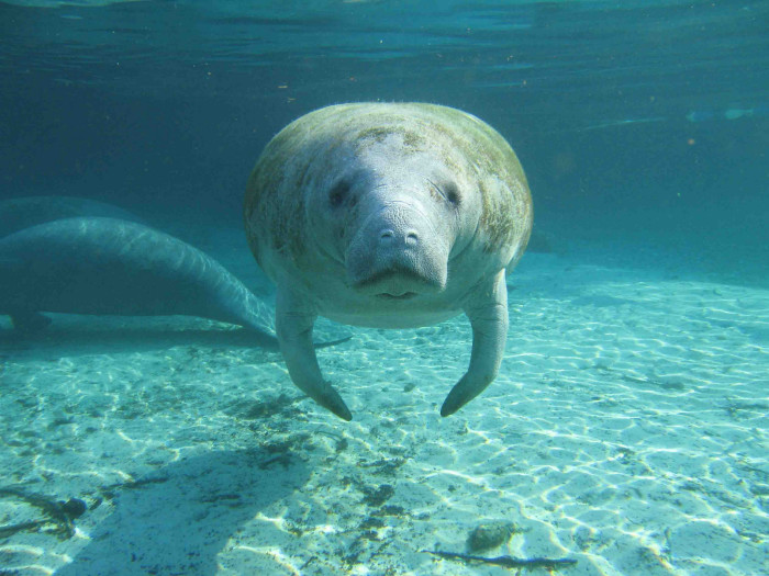 1. Manatee Stares Into Your Soul