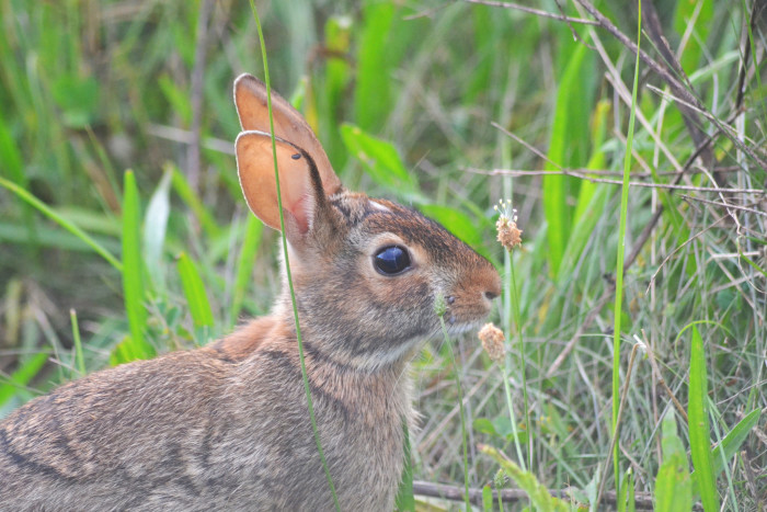 10) Eastern cottontail at Fernald Preserve (Harrison, Ohio)