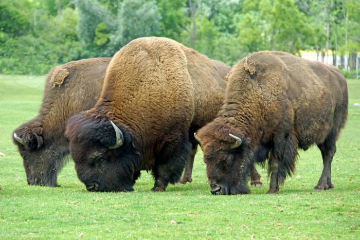10.) Bison