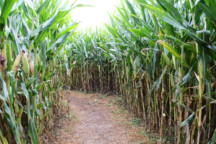 8. Or go to a corn maze like Sever's or Tweite's for an adventure date!