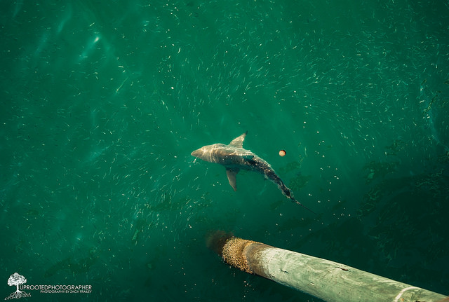 """7. """"Shark at the Bogue Inlet Pier 
