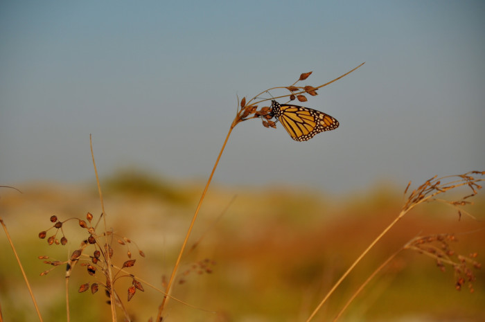 2. Or a beautiful Monarch butterfly may catch your eye.