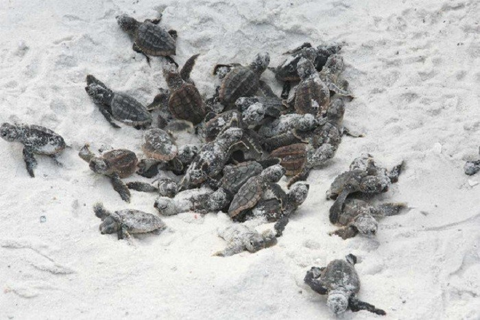 15. At the beach, you may be lucky enough to watch sea turtles hatch.