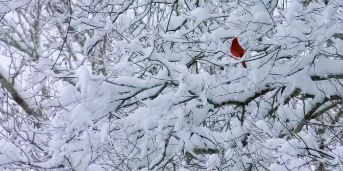 10. A cardinal enjoying the snow in Birmingham, Alabama.