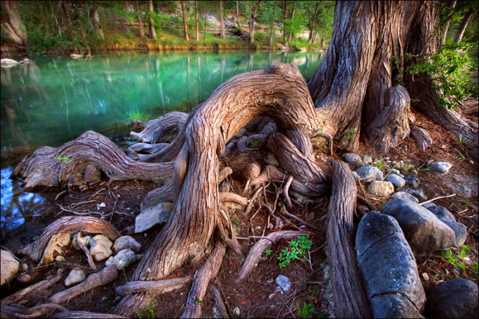 9) The roots of a Cypress tree line the banks of the Blanco River in Wimberley.