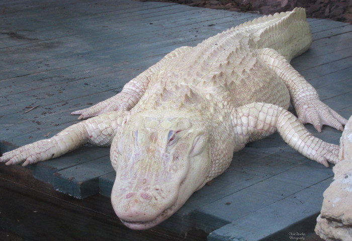 13. Albino Alligator at Gatorland Orlando