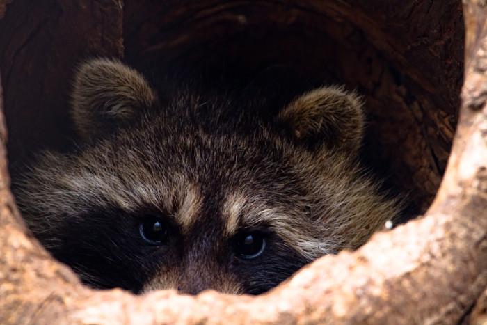 1. This charming, shy raccoon