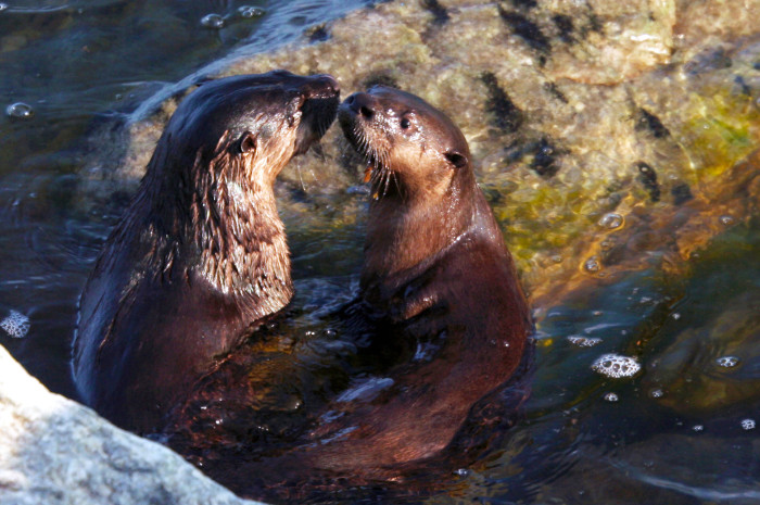 7 This lucky photographer caught these adorable otters kissing!