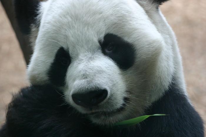 Panda, Zoo Atlanta