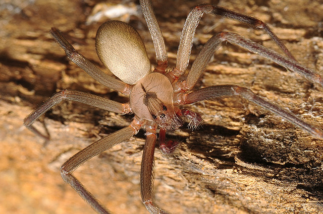 9) Brown recluses and black widows.