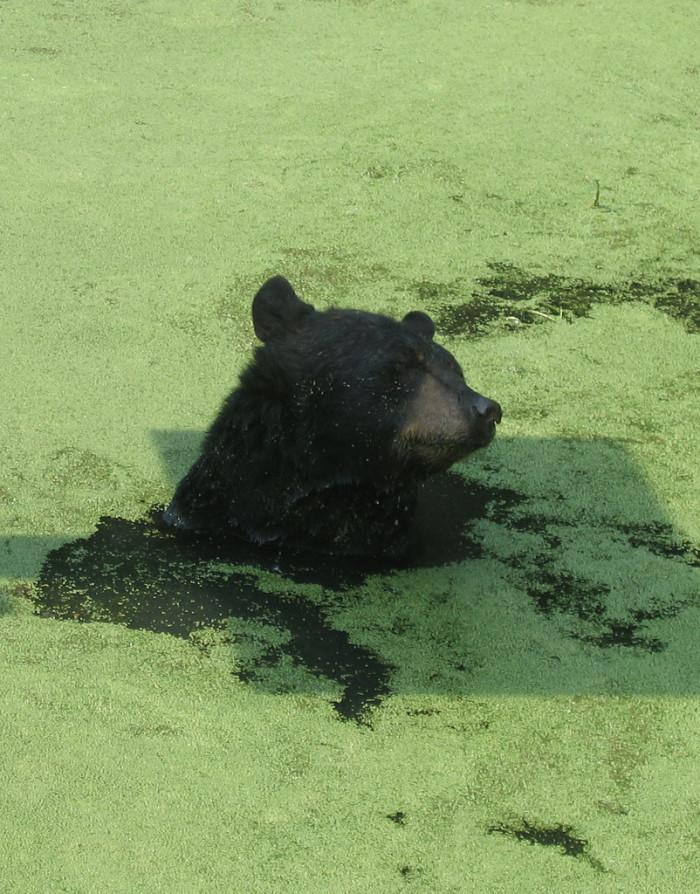 4) Louisiana Black Bear