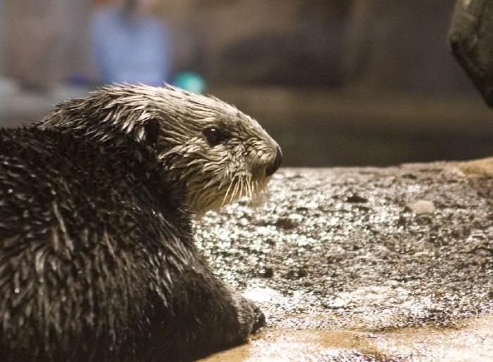 Sea Otter, Georgia Aquarium