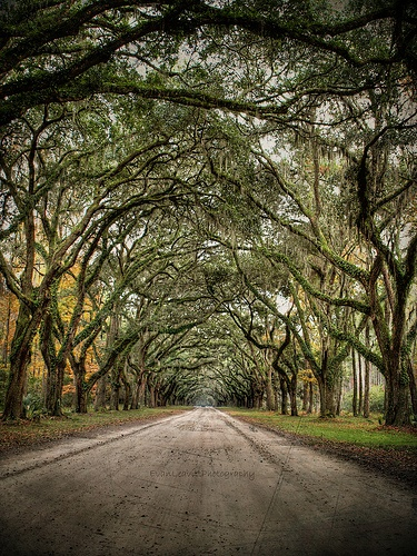 5) The Spanish Moss and trees in Savannah, GA.
