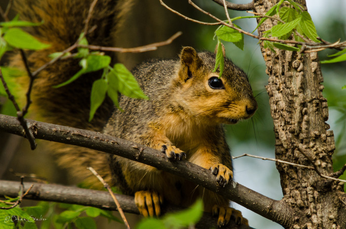 2. This Fox Squirrel posing for the camera